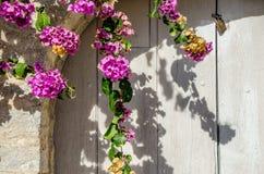 Glicinia hermosa que adorna Fotografía de archivo libre de regalías