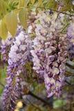 Glicinia púrpura en Cagliari imagen de archivo libre de regalías