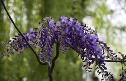 Glicinia púrpura en Giverny imagenes de archivo