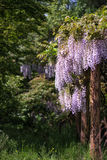 Glicinia púrpura que cubre sobre los ornamentos del jardín en el crecimiento l del verano Foto de archivo