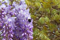 Glicinia y el abejorro junto Imagen de archivo libre de regalías