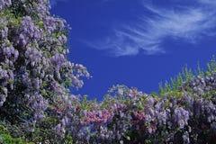 Glicinias, arbusto en el resorte, d'Azur del corral, Francia Imágenes de archivo libres de regalías