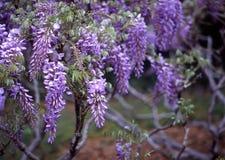 Glicinias, jardín botánico de Brooklyn Fotos de archivo