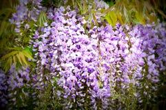 Glicinias púrpuras Foto de archivo libre de regalías