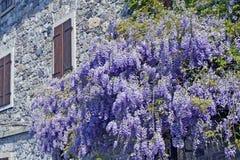 Glicinias púrpuras al lado de una pared de una casa vieja Fotos de archivo libres de regalías