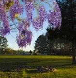 Glicinias púrpuras Imagen de archivo libre de regalías