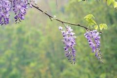 Glicynia kwiat Zdjęcie Stock