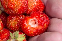 Glid trädgårds- jordgubbar i gömma i handflatan av din hand nya frukter som väljer jordgubbesommar royaltyfri foto