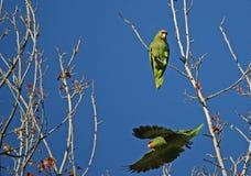 Glida papegojan Arkivfoton