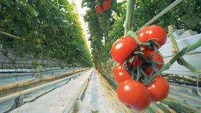 Glidareskottändring från ett passway växthus till en klunga av röda tomater stock video