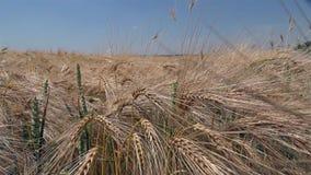 Glidareskott av moget vete som är klart för skörden arkivfilmer