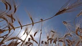 Glidareskott av moget vete som är klart för skörden lager videofilmer