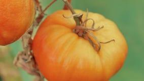 Glidarezoomskott av organiska gula tomater för lokal jordbruksprodukter med en växthusbakgrund stock video
