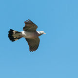Glide. A pigeon glides to its next perch stock images