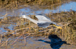 Glide Over. Wingspan of White-face heron as it glides over marshes waters with a wonderful shadow Stock Photography