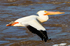 Glide Path. An American White Pelican taking off from the water on the Arkansas River near White River Wildlife Refuge Stock Image