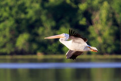 Glide Path. An American White Pelican taking off from the water on the Arkansas River near White River Wildlife Refuge Stock Photo