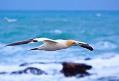 Glider. The Cape Gannet (Morus capensis, originally Sula capensis) is a large seabird of the gannet family, Sulidae Royalty Free Stock Photos