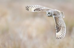 Glider. Short eared owl gliding passed at close distance whilst hunting. Cambridge, England Royalty Free Stock Photo