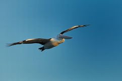 Gliding. Flying pelican gliding in the blue sky of williamstown in melbourne Royalty Free Stock Images