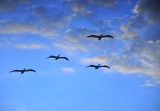Gliding The Beach. Watching the Birds glide along the Gulf Coast Royalty Free Stock Photography