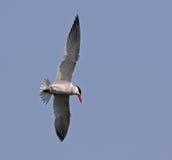 Gliding Caspian Tern Royalty Free Stock Photo