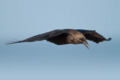 Gliding Crow. A crow glides in a clear, blue sky stock photography