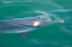 Gliding dolphin. Cute dolphin gliding and blowing air at the surface of emerald green water, Australia Royalty Free Stock Images