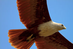 A gliding eagle. Closeup of a gliding eagle looking for prey royalty free stock photo