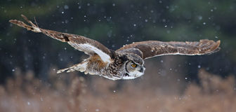 Gliding Great Horned Owl. A Great Horned Owl (Bubo virginianus) gliding through the air with snow falling in the background Stock Image