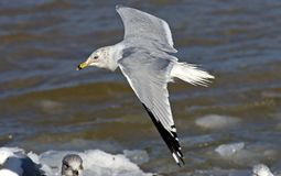 Gliding Gull Stock Images