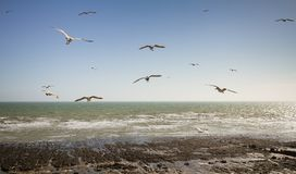 Gliding gulls at Ovingdean Beach, East Sussex, UK stock images