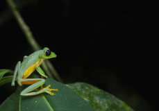 Gliding leaf frog Royalty Free Stock Photography