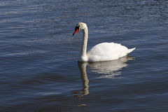 Gliding Mute Swan Royalty Free Stock Images
