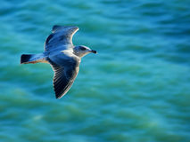 Gliding over the sea stock images