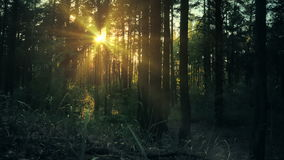Gliding panoram of sunset light through trees in pine forest. stock video
