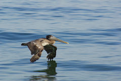 Gliding Pelican Stock Photography