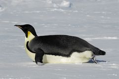 Gliding penguin. An emperor penguin is gliding over the Antarctic ice. Picture was taken in the Atka Bay during a 3-month Antarctic research expedition Stock Photography