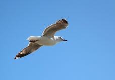 Gliding Sea Gull Royalty Free Stock Image