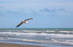 Gliding Sea Gull. Sea Gull with it wide wings gliding on the sea breeze Stock Image