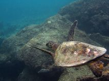 Gliding Sea Turtle Stock Image