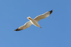 Gliding seagull Stock Image