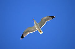 A Gliding Seagull - Sea Bird Flying In Blue Sky Background Stock Image