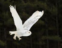 Gliding Snowy Owl Stock Image