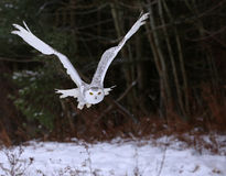 Gliding Snowy Owl Royalty Free Stock Photography