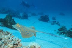 Gliding stingray. Bluespotted ribbontail stingray gliding above sandy bottom among coral patches Stock Photography