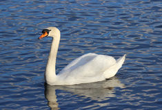 Gliding Swan Royalty Free Stock Photography