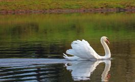 Gliding Swan With Feathers Raised. Displaying. Stock Image