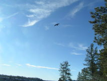 Large Bird Gliding on the Thermals. Open sky with coasting bird of prey Royalty Free Stock Photos