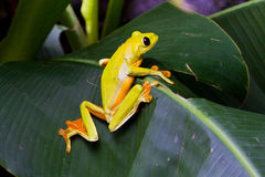 Gliding Treefrog. Gliding tree frog, Agalychnis spurrelli, perching on a leaf at La Paz Waterfall Gardens, Costa Rica Royalty Free Stock Photography
